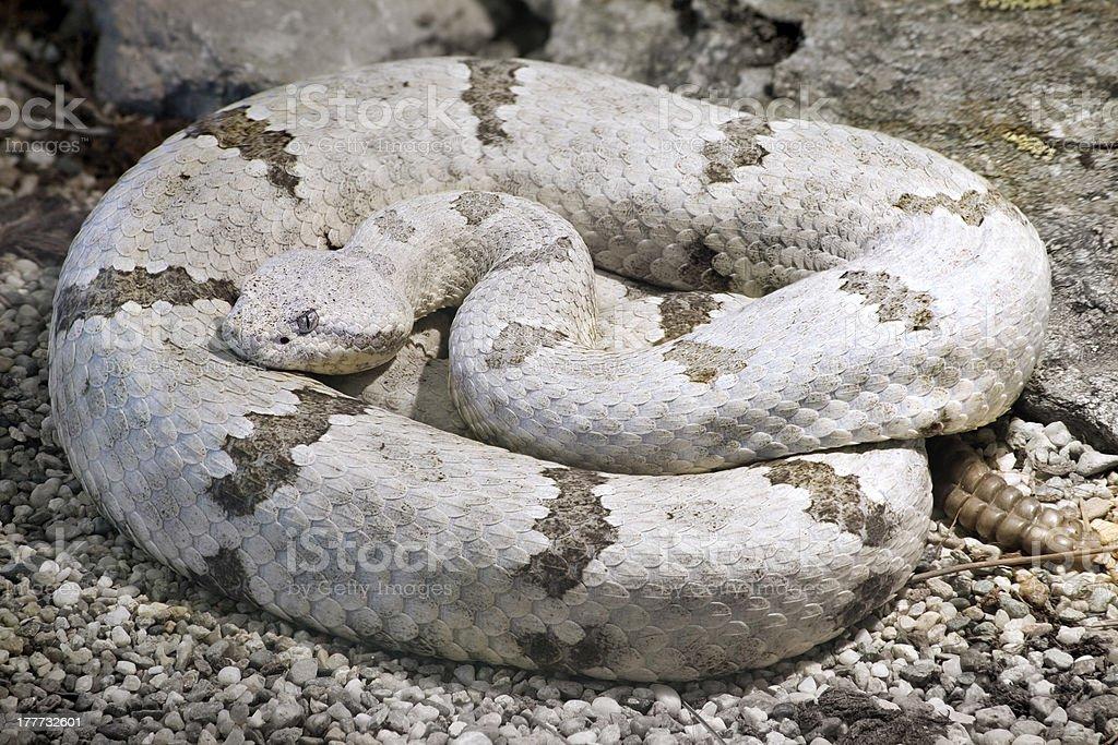 Tamaulipan Rock Rattlesnake royalty-free stock photo