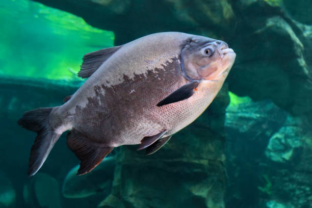 Tambaqui (Colossoma macropomum) or the giant pacu stock photo