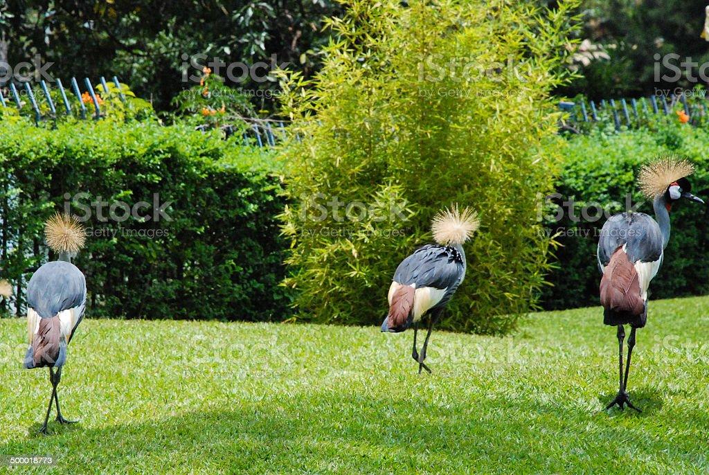 Tame Crested Crane birds walking across garden lawns Gisenyi Rwanda stock photo