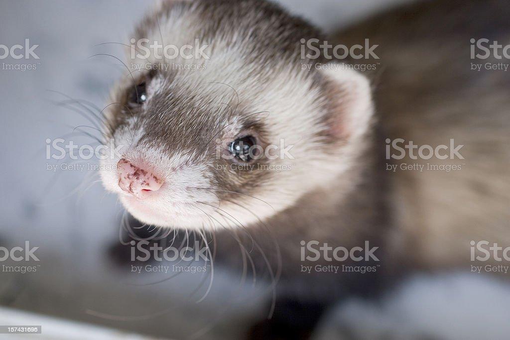 Tame ferret stock photo