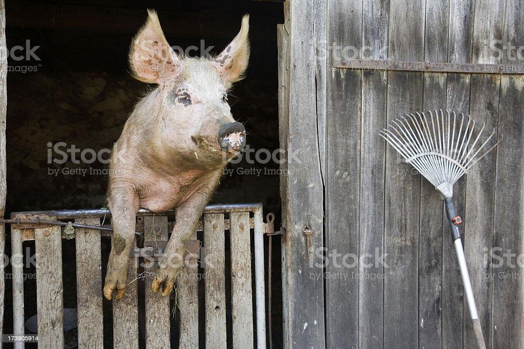 tame pig royalty-free stock photo