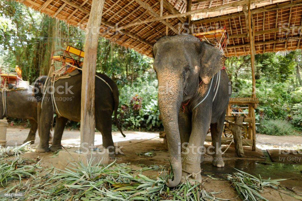 Tamed nice elephants with saddle standing at zoo royalty-free stock photo