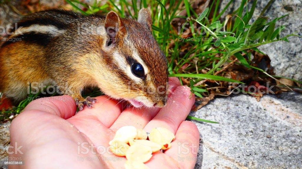 Tamia se nourrissant d'arachides dans la main - Royalty-free Animal Stock Photo