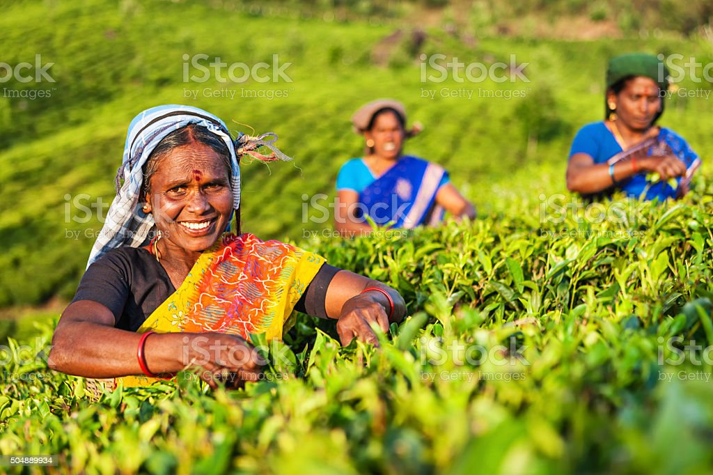 Tamil pickers collecting tea leaves on plantation, Southern India stock photo