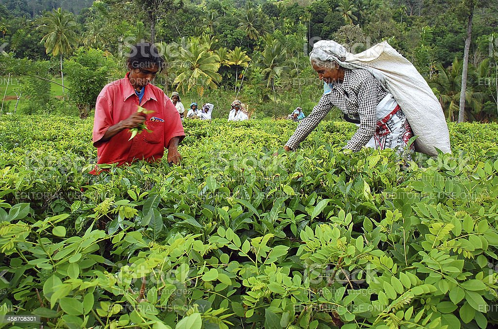Tamil Tea Pickers at the Plantation royalty-free stock photo