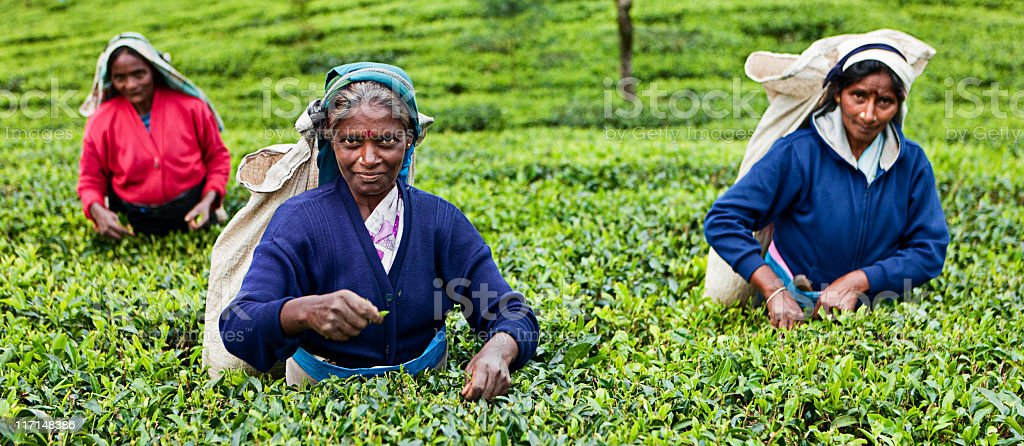Tamil tea pickers, Sri Lanka royalty-free stock photo