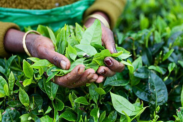 Tamil tea pickers, Sri Lanka stock photo