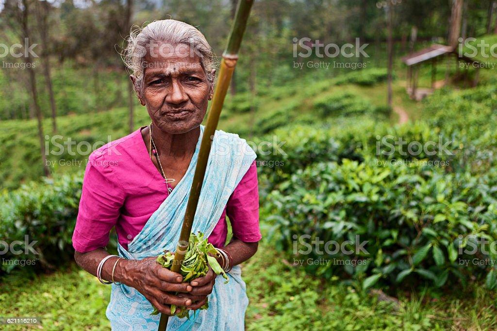 Tamil woman collecting tea leaves, Sri Lanka stock photo