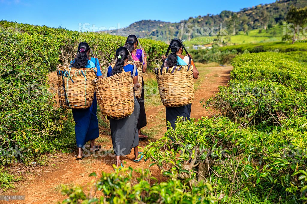 Tamil women crossing plantation near Nuwara Eliya, Ceylon stock photo