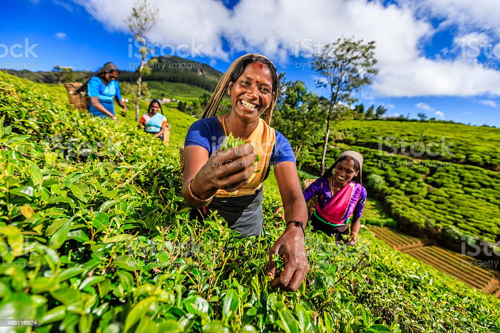 Tamil women plucking tea leaves on plantation, Ceylon stock photo