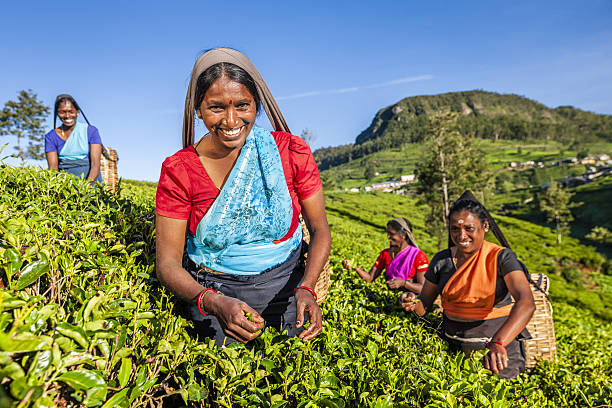 Royalty free tamil pictures images and stock photos istock tamil women plucking tea leaves on plantation ceylon stock photo thecheapjerseys Gallery