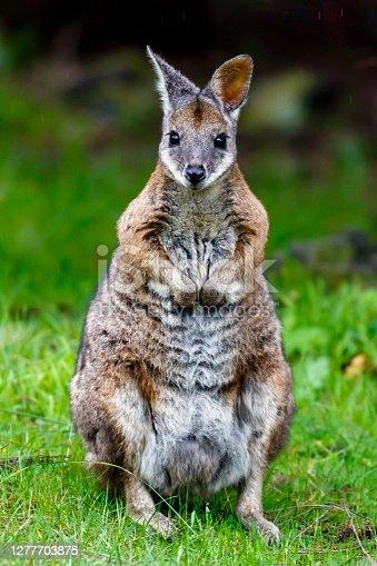 Tammar Wallabies thrive in dense coastal heath and scrub land. This makes Kangaroo Island the perfect home for them.