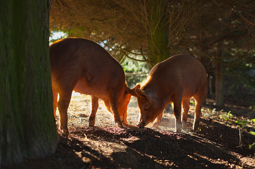 Tamworth Pigs Early Morning Feed Stock Photo Download