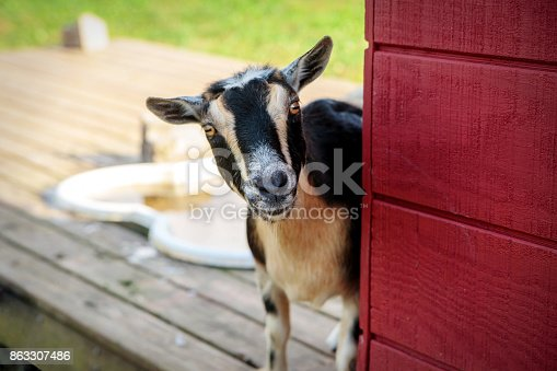 istock Tan and Black Goat 863307486