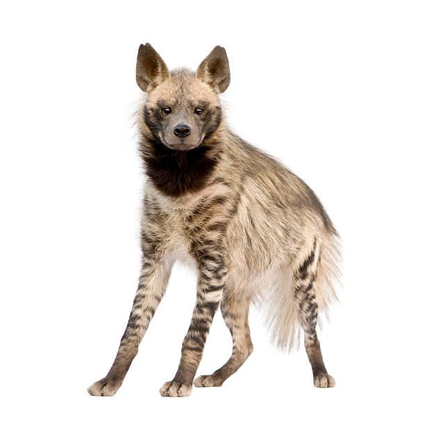 tan and brown striped hyena on white background - hyena stockfoto's en -beelden