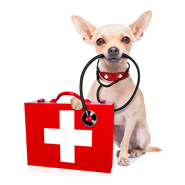 tan chihuahua with medical instruments  - animal health stock photos and pictures