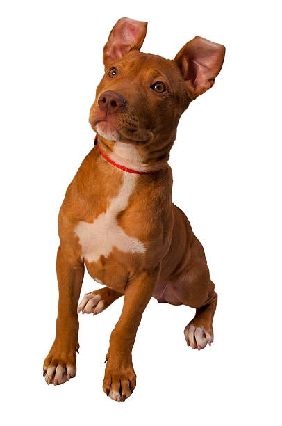 Tan Pitbull Terrier Sitting with Ears at Attention stock photo