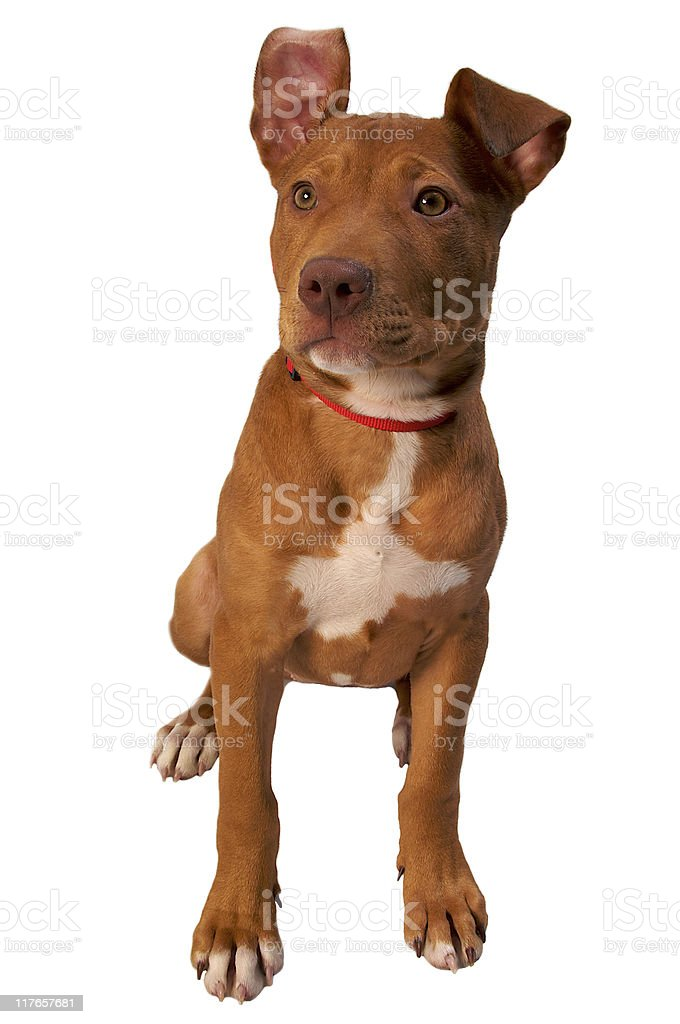 Tan Pitbull Terrier Sitting with One Ear Flopped Over royalty-free stock photo