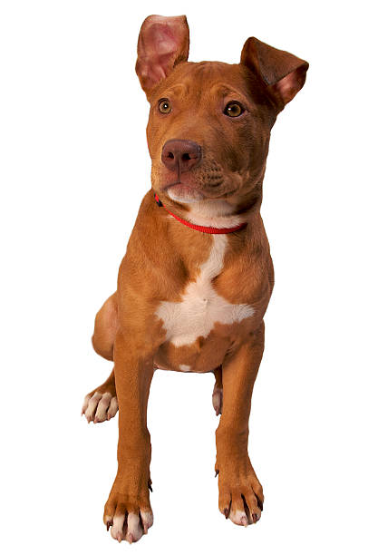 Tan Pitbull Terrier Sitting with One Ear Flopped Over stock photo