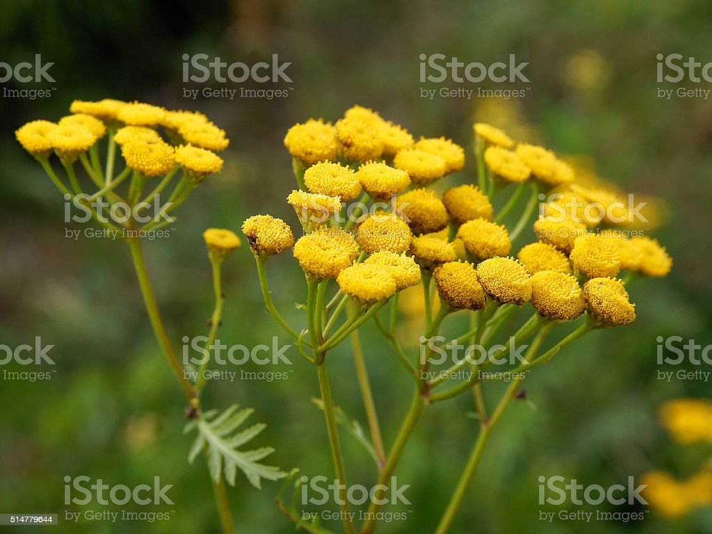 Tancy Wild Plant With Yellow Flowers Stock Photo More Pictures Of