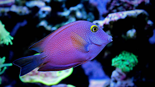 kole tang Kole surgeon fish in marine tank freshwater fish stock pictures, royalty-free photos & images