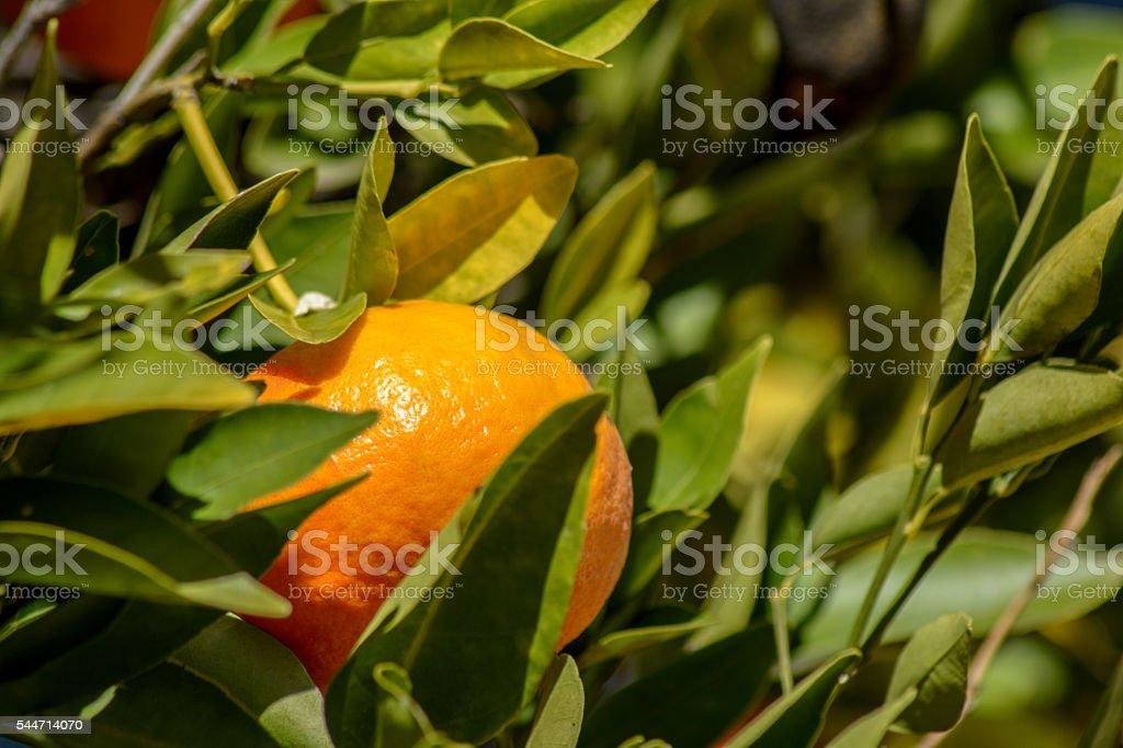 Tangerine or mandarin between leaves stock photo