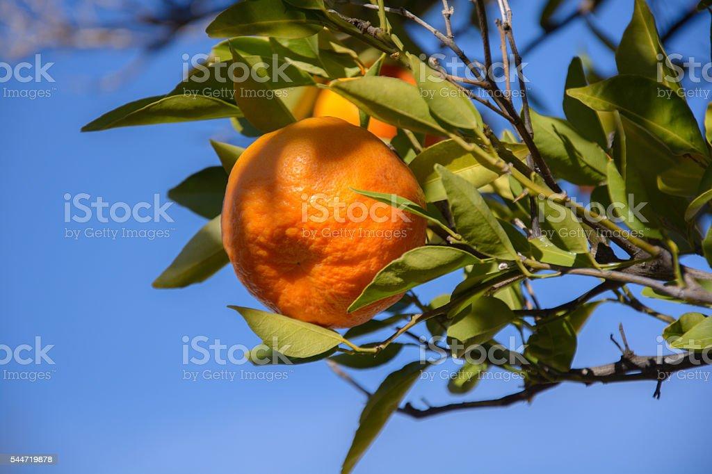 Tangerine or mandarin on a branch stock photo
