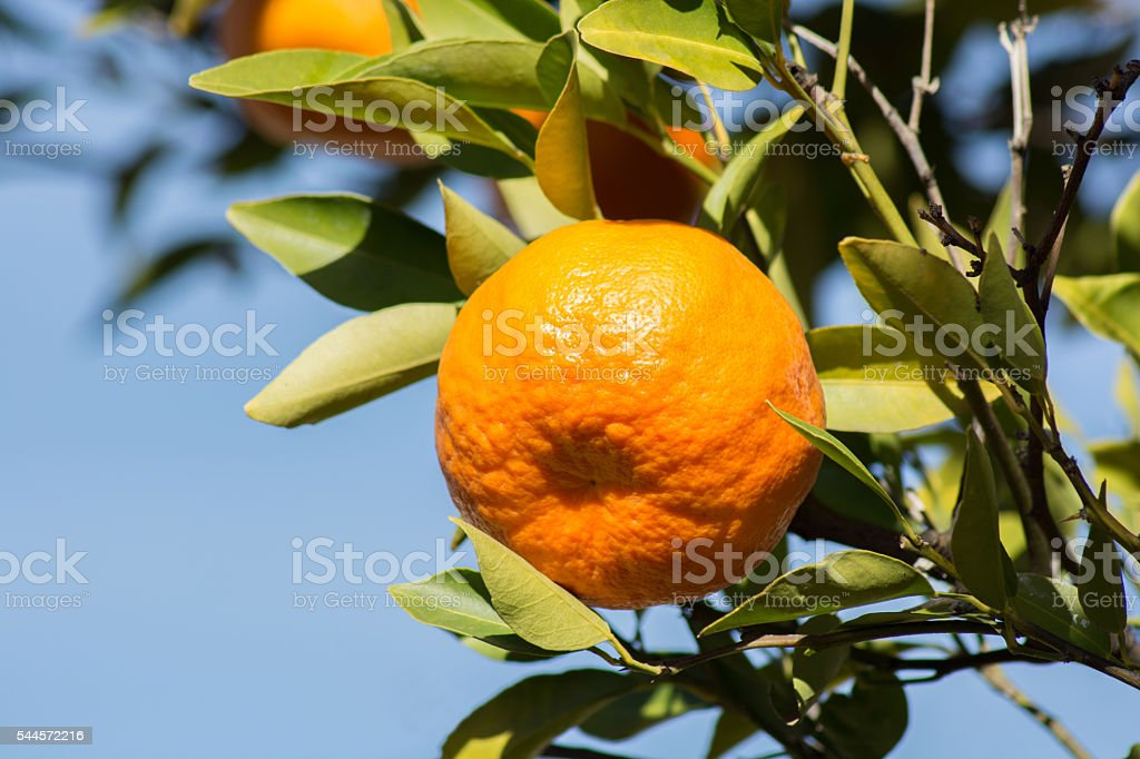 Tangerine or mandarin on a branch with leaves stock photo