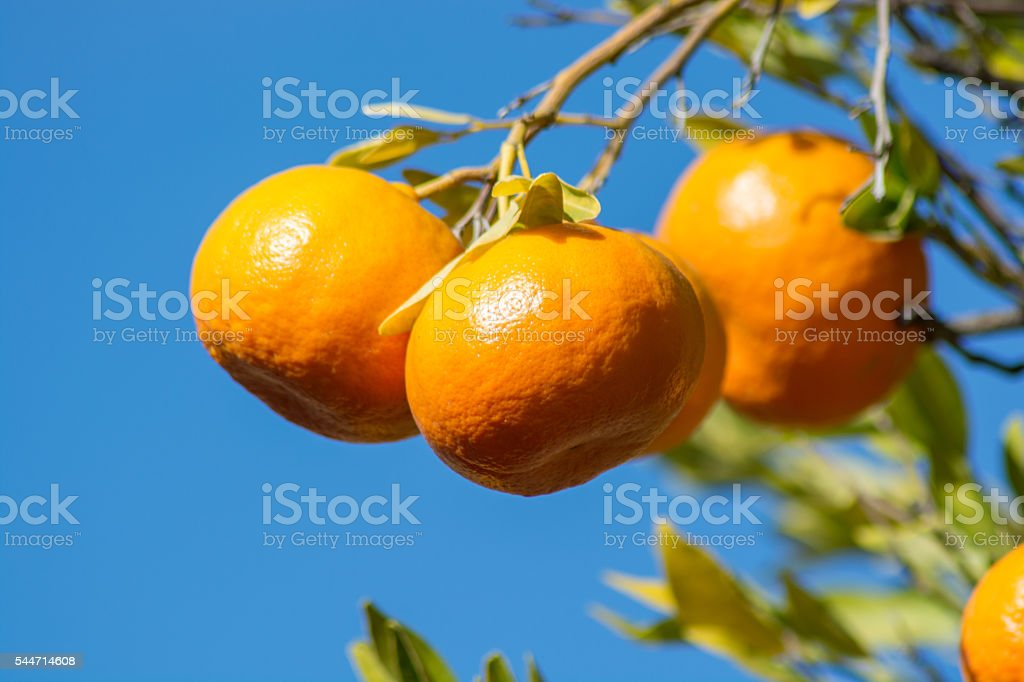 Tangerine or mandarin on a tree branch stock photo