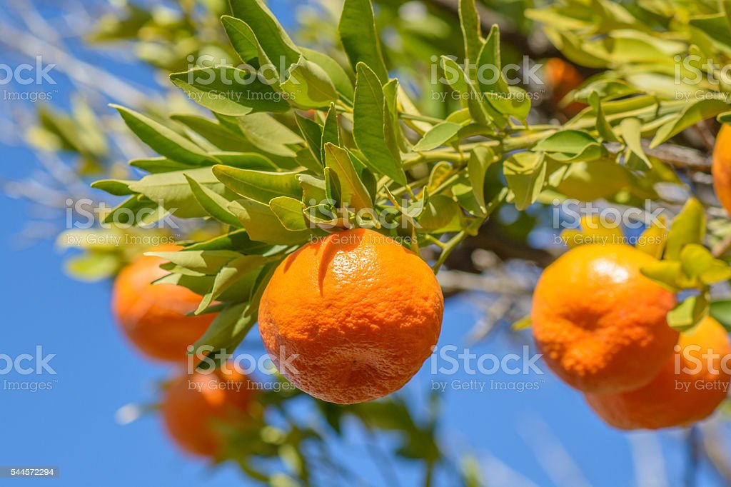 Tangerine or mandarin on a tree stock photo