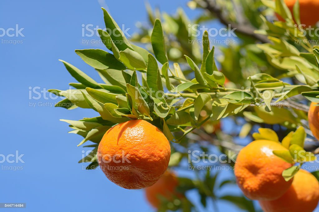 Tangerine or mandarin on leafy branch stock photo