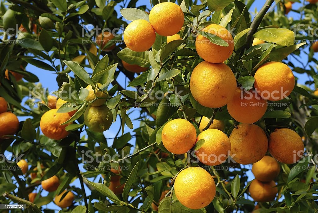 Tangerine plant full with fruits royalty-free stock photo