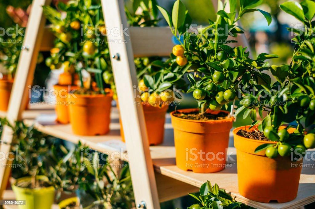 Tangerine pots at flower market stock photo
