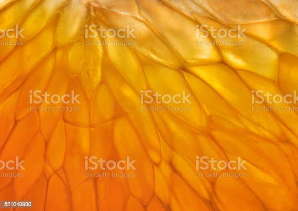 Close-up of tangerine pulp in the backlight