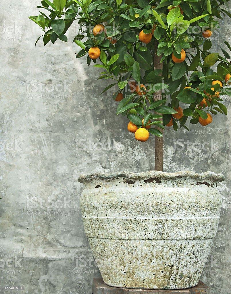 Tangerine tree in old clay pot stock photo