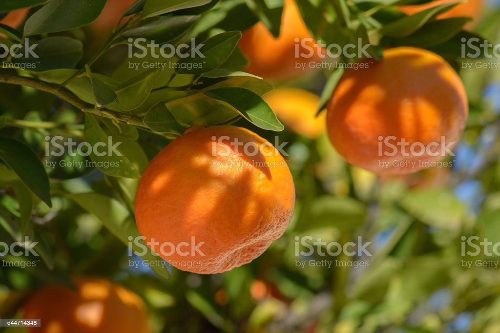 Tangerines or mandarins on a branch stock photo
