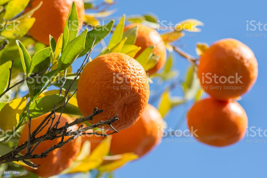 Tangerines or mandarins on a tree branch stock photo