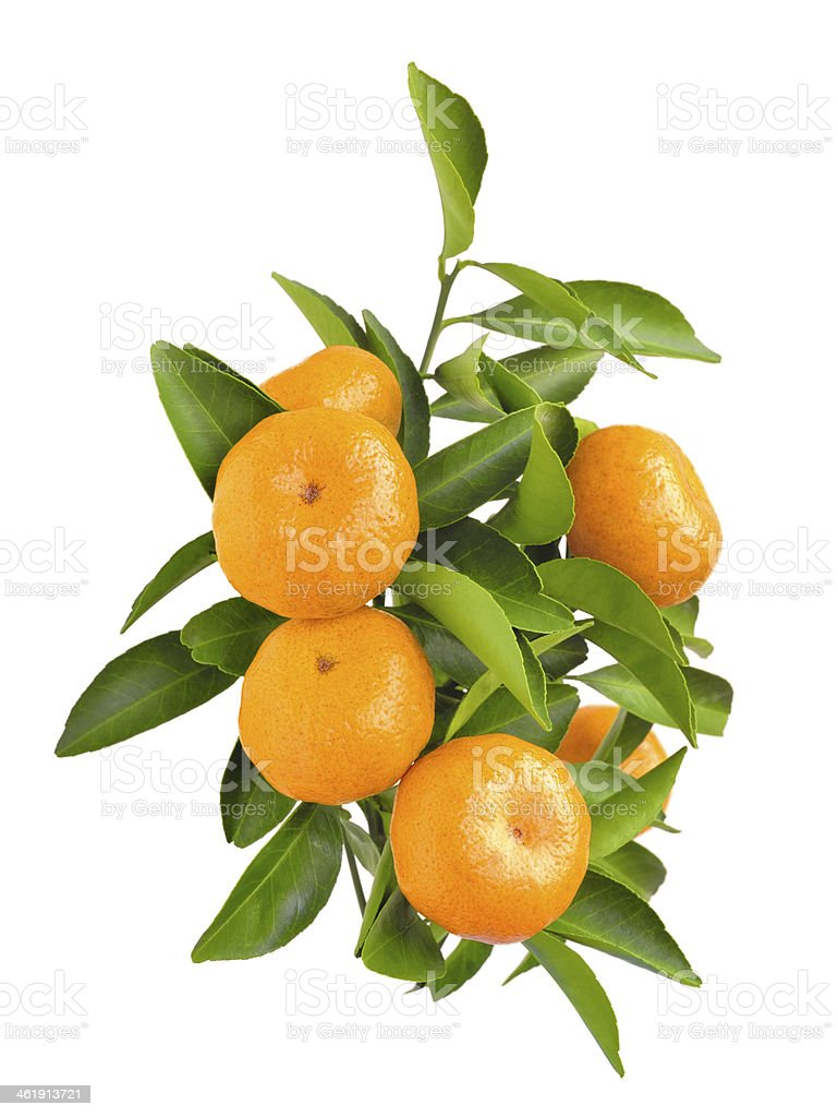 Tangerines tree branch isolated stock photo