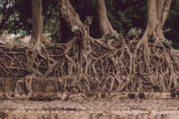 tangle of massive roots, Ethiopia stock photo
