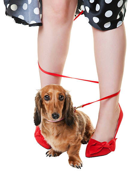 verheddert dackel hund - hunde strumpfhosen stock-fotos und bilder