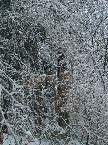 Tangled Limbs and Snow stock photo