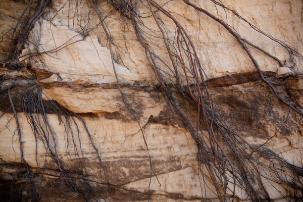 Tangled roots hanging on a red layered Sandstone cliff stock photo