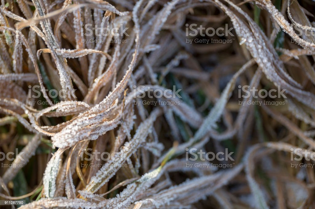 Tangled winter dry grass in the frost on the field close-up royalty-free stock photo