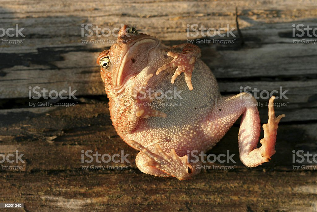 Tanning Toad royalty-free stock photo