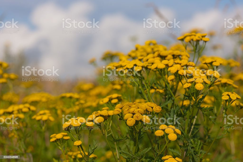 Tansy close up stock photo