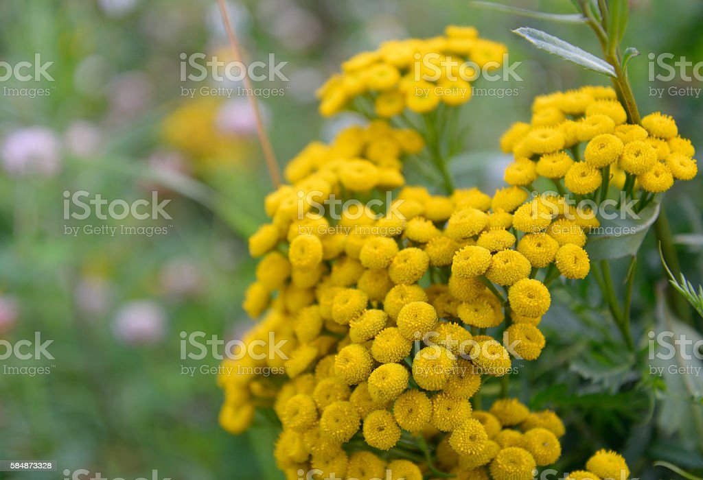 Tansy flower closeup. stock photo