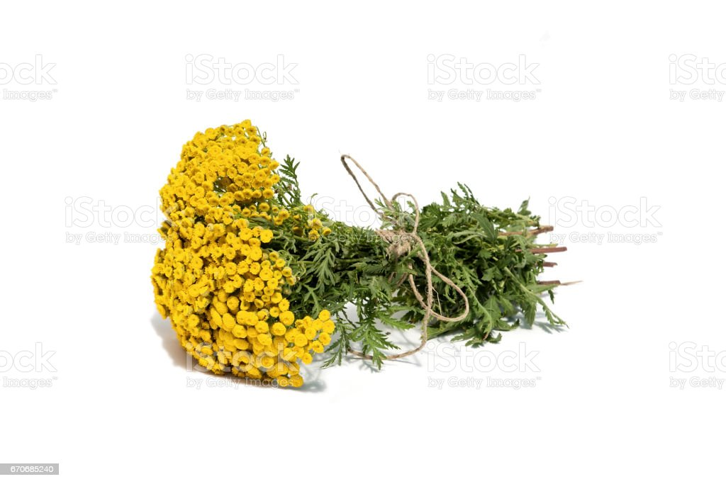 Tansy isolated on the white background. the dried flowers. stock photo