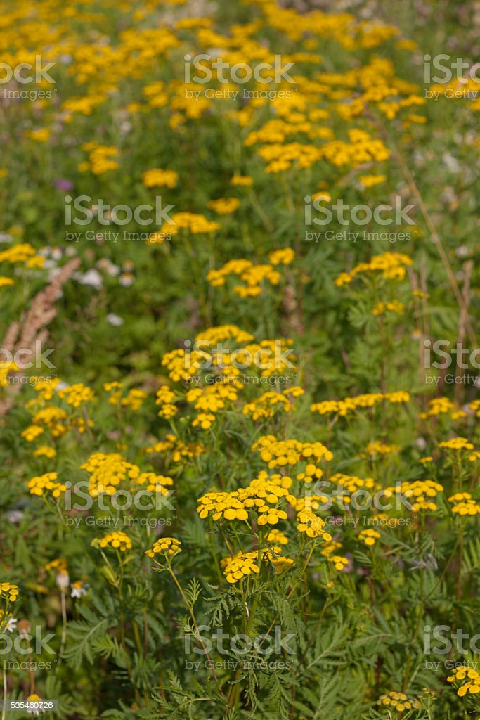 Tansy on a summer meadow stock photo