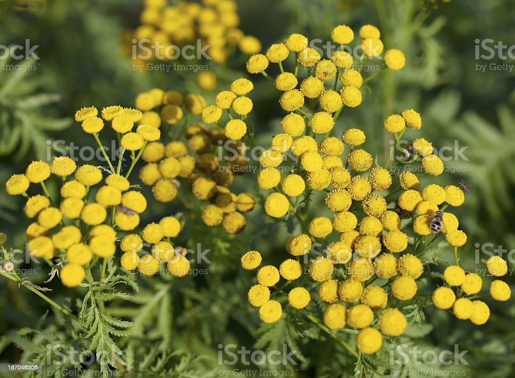 Tansy (Tanacetum vulgare) royalty-free stock photo