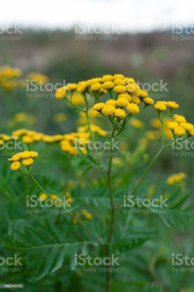 Tansy Tanacetum vulgare stock photo